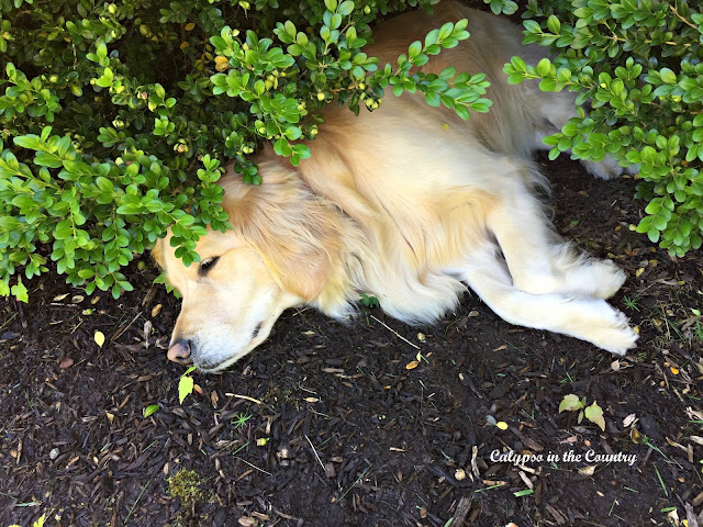 Shady spot for a golden retriever