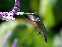 Rahasia Terbang Mundur Burung Kolibri Terungkap