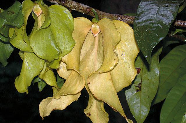 ปาหนันช้าง ไม้ไทยดอกหอม ดอกใหญ่ที่สุดในสกุลปาหนันและในวงศ์กระดังงา