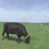 Bovinos online: agricultores estão usando inteligência artificial para ajudar a monitorar vacas