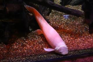 Lungfish (albino)