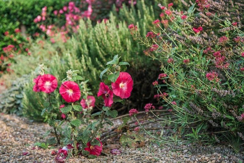 Flores rojas de malvarrosa (alcea)
