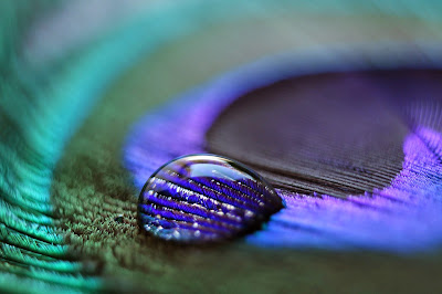 Water Drop on Peacock Feather