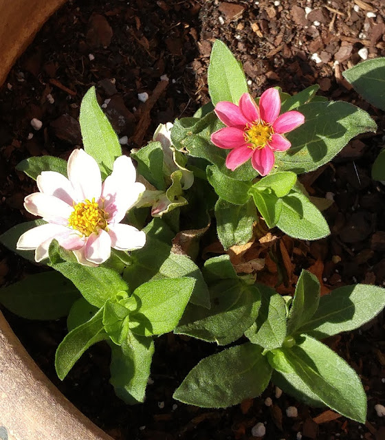Zinnias are perfect for container gardens