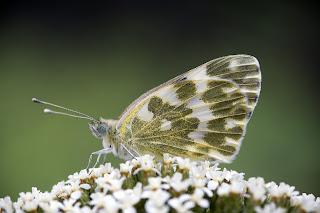 Para ampliar Pontia daplidice (Blanquiverdosa, mariposa de la mostaza) hacer clic