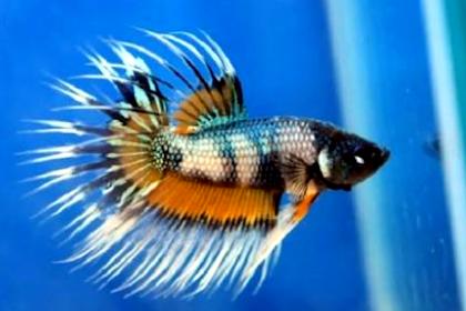 Daftar Makanan Ikan Cupang, Lengkap dengan Cara Membuatnya