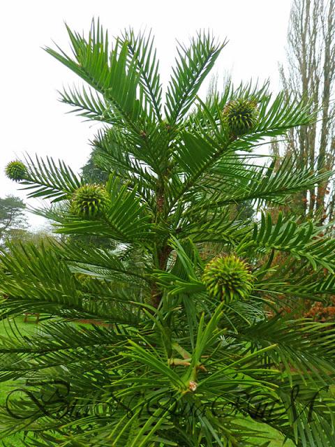 Botaniquarium - Wollemia nobilis female cones