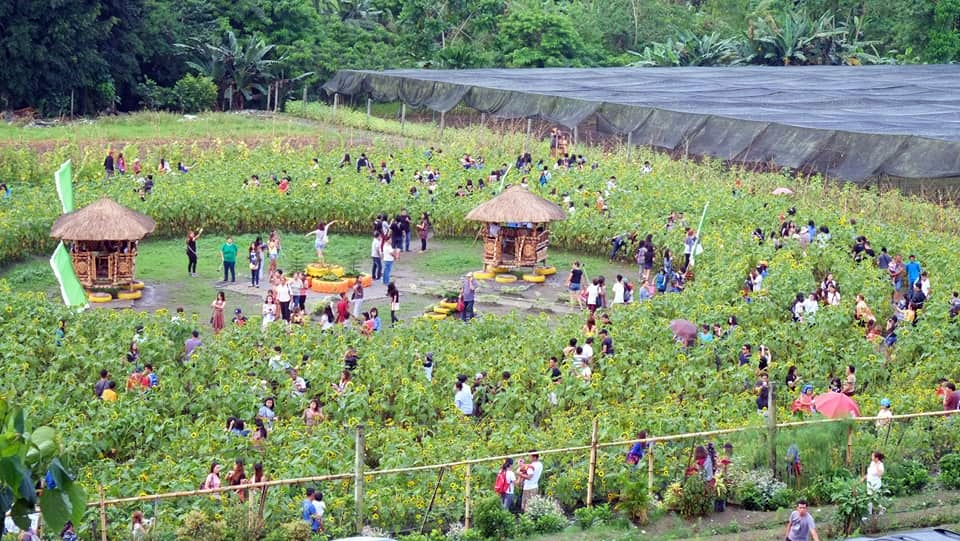 NEW ATTRACTION! Sunflower Farm in Tupi