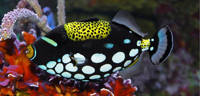 Gambar Ikan Clown Triggerfish - Budidaya Ikan