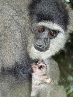 Owa Jawa dan anaknya di dalam hutan
