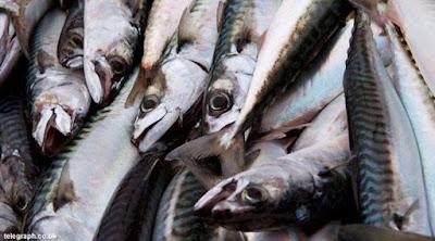 Harga Jual Ikan Makarel / Ikan Saba