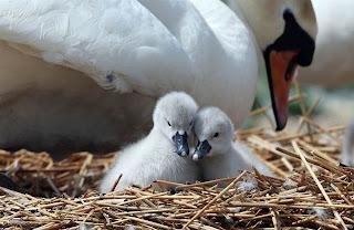 Foto de cisnes