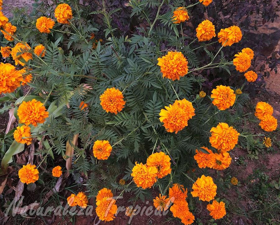 Arbusto del Clavelón de la India o Flor de Muertos, Tagetes erecta