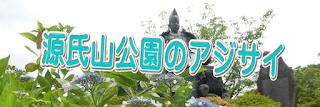 源氏山のアジサイ