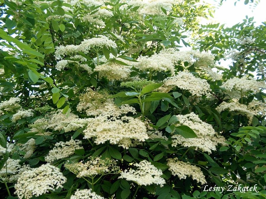 Lesny Zakatek Domowa Apteczka Kwiaty Czarnego Bzu