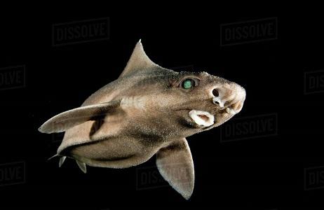 Domuz Köpekbalığı Hakkında Bilgi