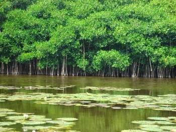 Se han perdido el 25% de los manglares