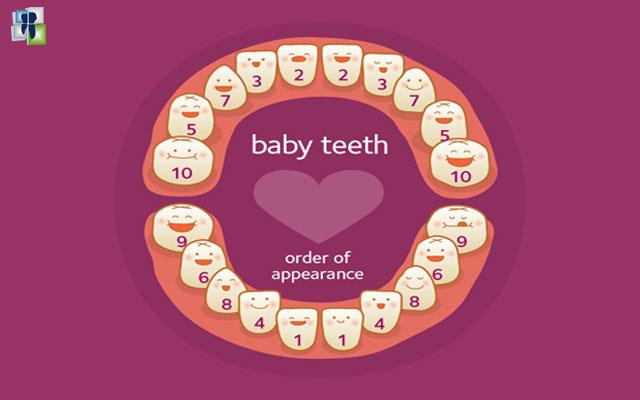 الأسنان المؤقتة ( أسنان لبنية) وعددها 20 سن.