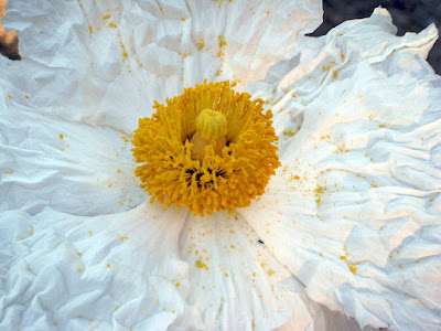 Matilija Poppy: photo by Cliff Hutson