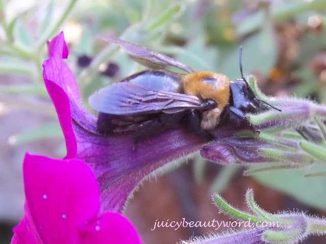 bee getting nectar form petunia