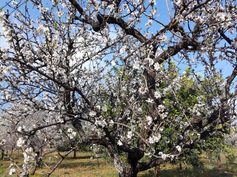 In fiore a Caimari