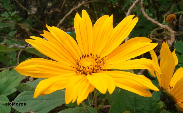flor de Árbol maravilla Tithonia diversifolia