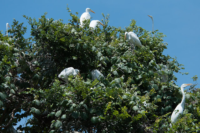 Great Egrets, UT Southwestern Rookery