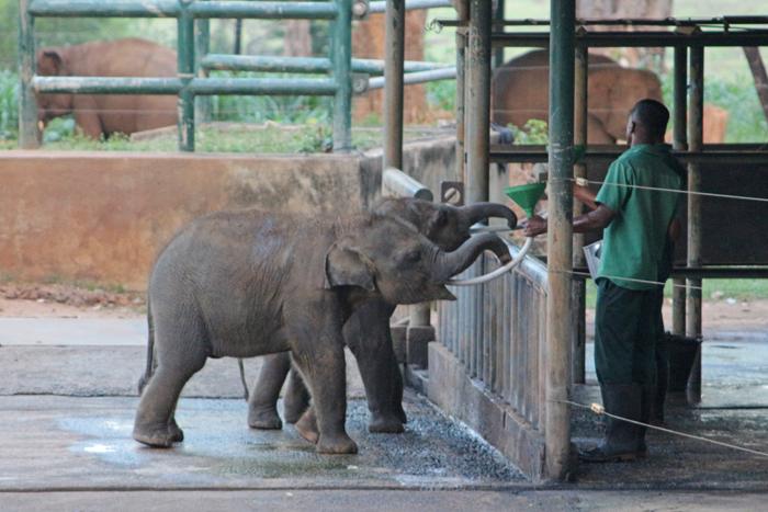 Fütterung der Elefantenbabys mit Milch im Elephant Transit Home