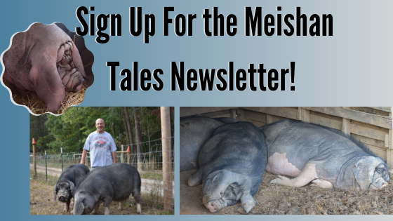 Sign up for the Meishan Tales Newsletter and get all the latest info on this amazing pig thats perfect for many small farmers! #pasturedpork #heritagehog