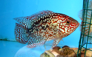 Gambar Ikan Louhan Super Red Texas
