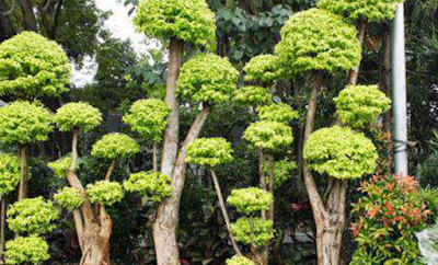 Perawatan Tanaman Pohon Anting Putri