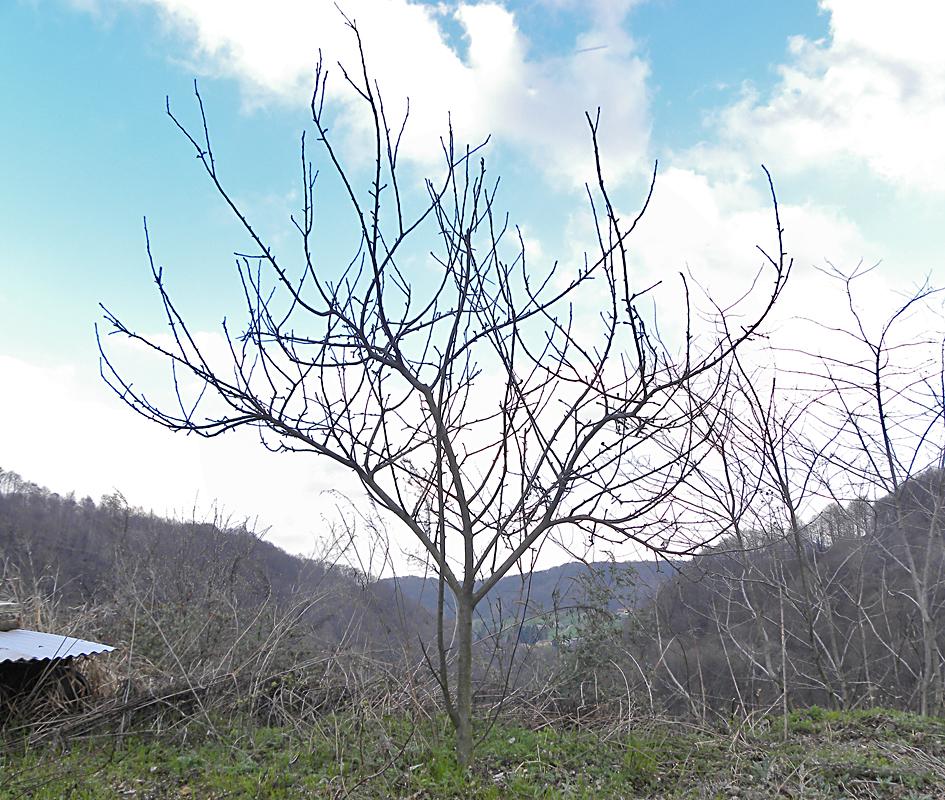 Orto delle piane agricoltura naturale di montagna potatura for Potatura del melo