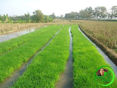 Bibit Padi sudah disemai Petani Pagaden Barat, Subang gagal tanam padi.