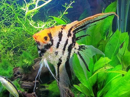 Angelfish | Animal Wildlife