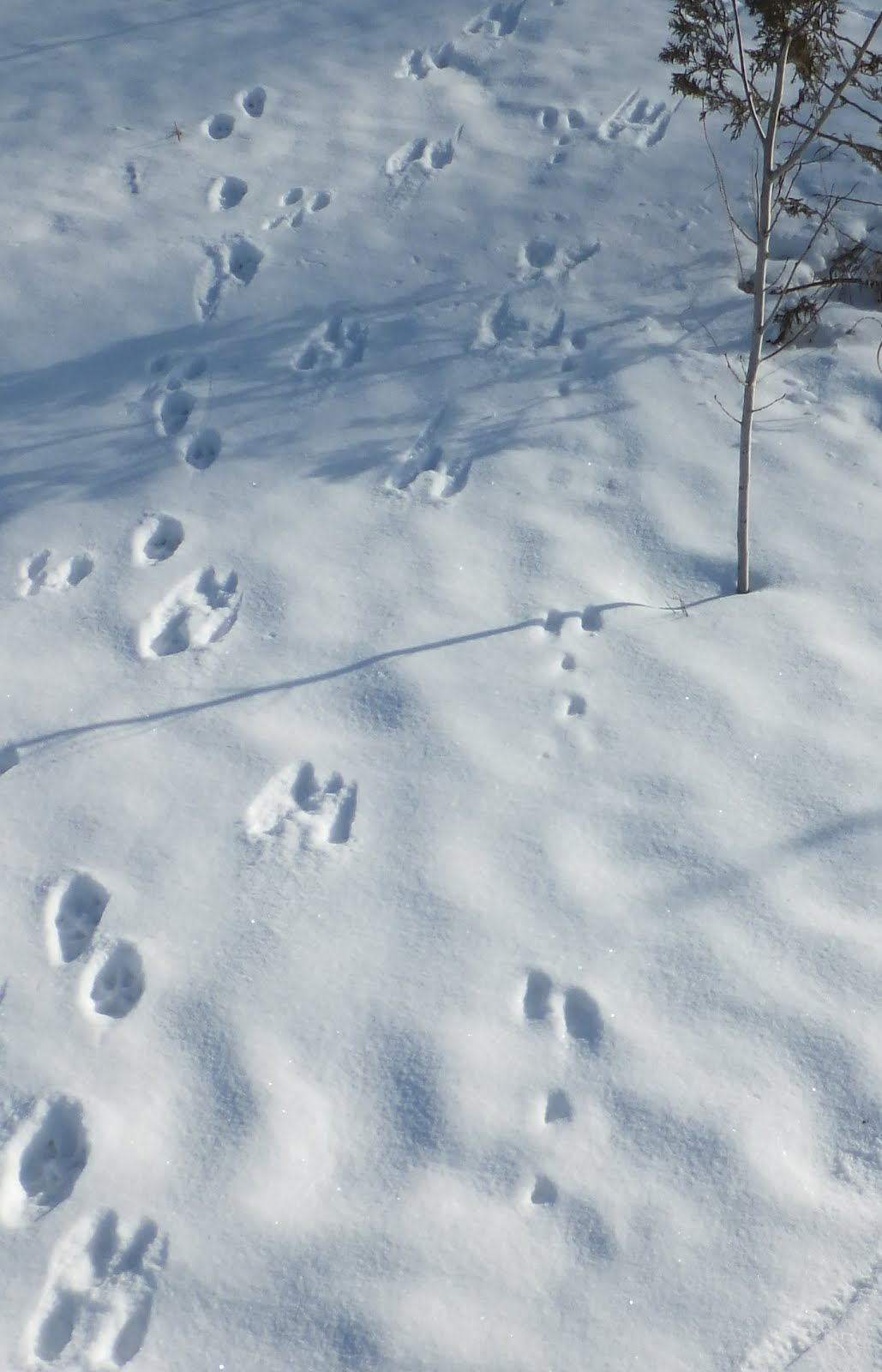 Roadside Field Notes Squirrel Tracks In Snow