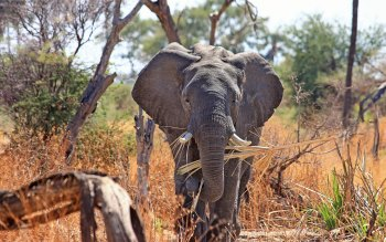 Wallpaper: Safari Africa Animal Elephant