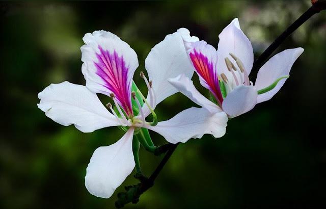 Ban flower- the hidden charm of northwest region 2