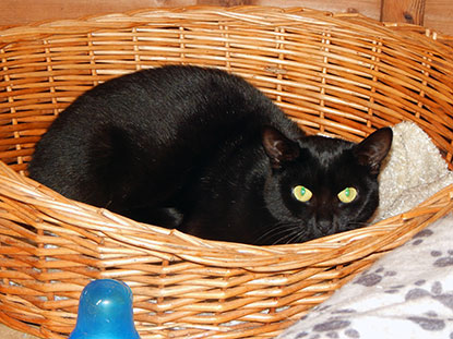 Black cat Frizzle needs a home