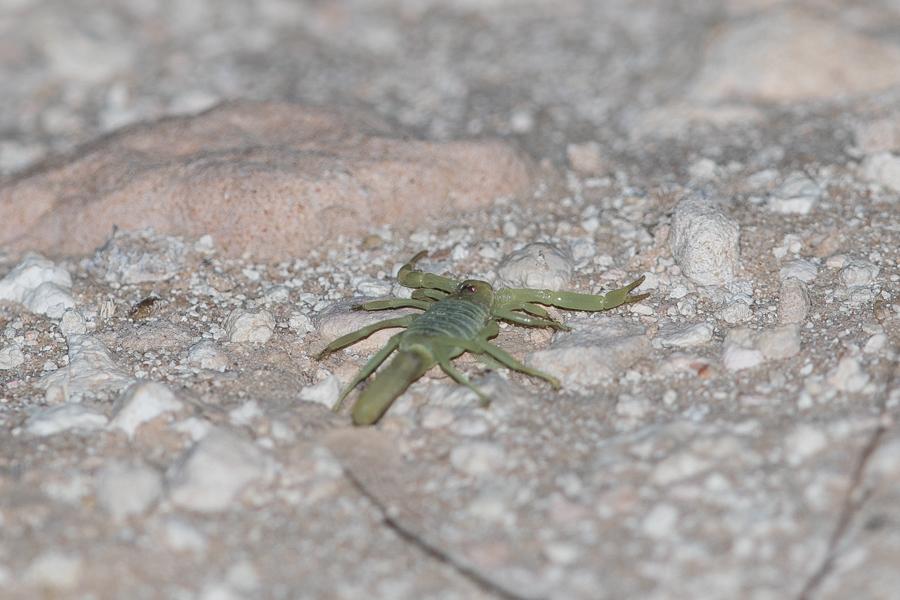 Black sting Scorpion3