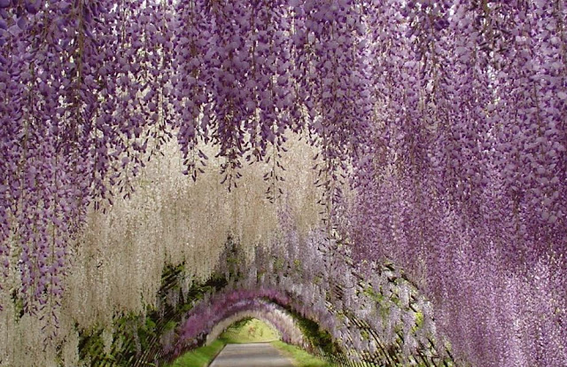 Wisteria_Flower_Tunnel