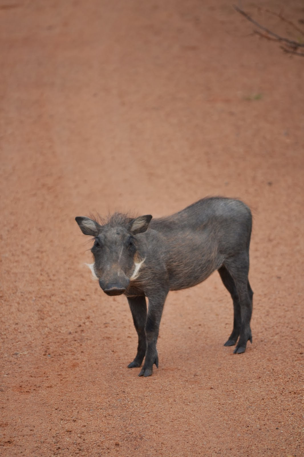 warthog standing in a dirt road