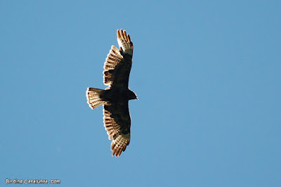 Aligot comú (Buteo buteo) sobrevolant l'Aran Park