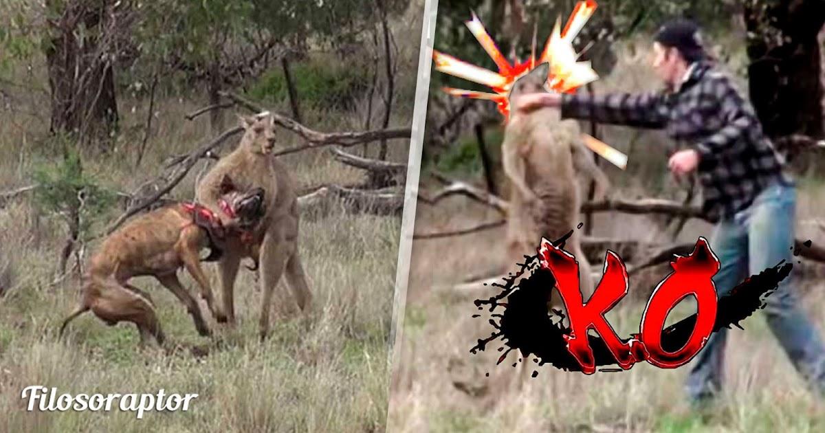 video canguro boxeo perro australia