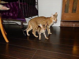 African Tiger Cubs For sale