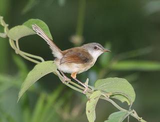 Burung Ciblek - Jenis Burung Ciblek Prinia Polychroacooki - Penangkaran Burung Ciblek