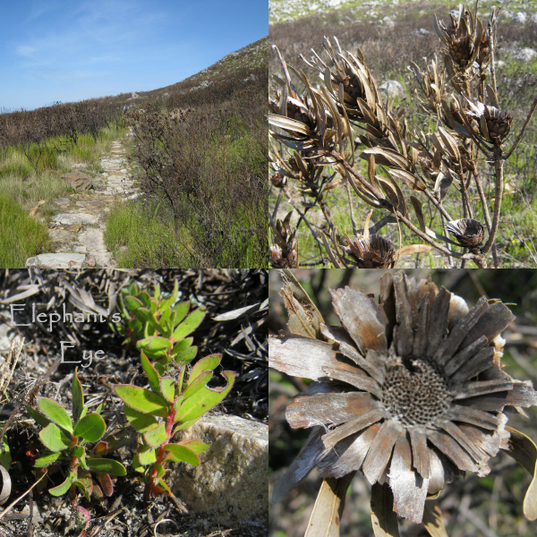 Burnt proteas and seedlings at Silvermine in April