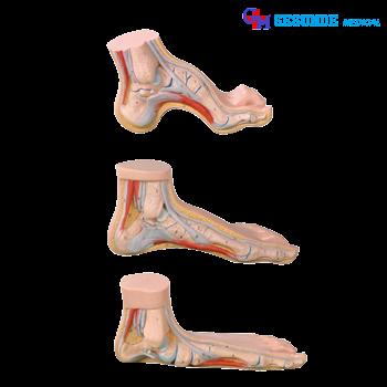 model praktek biologi bentuk kaki