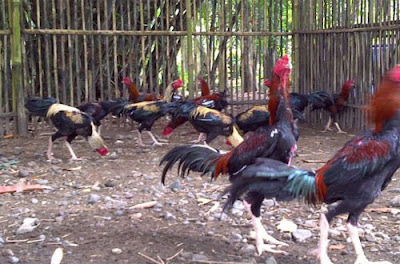 Cara Budidaya Ayam Bangkok