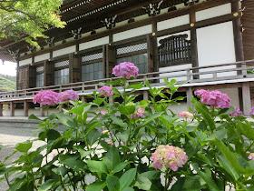 本覚寺のアジサイ