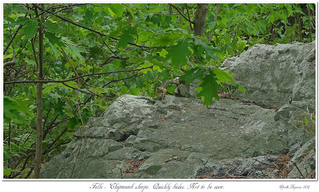 Fells: Chipmunk chirps. Quickly hides. Not to be seen.